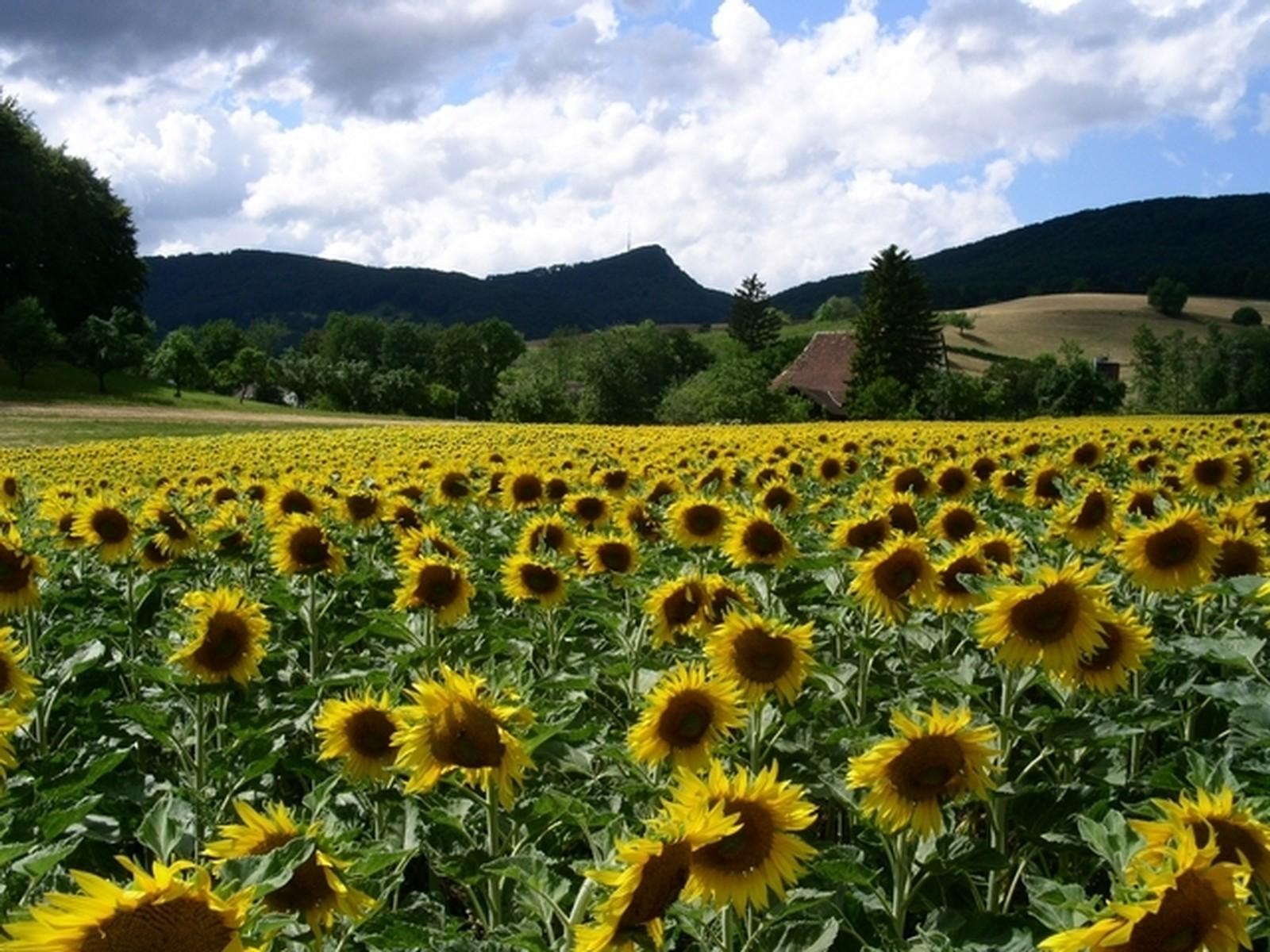 Sonnenblumenfeld mit Wasserfluh